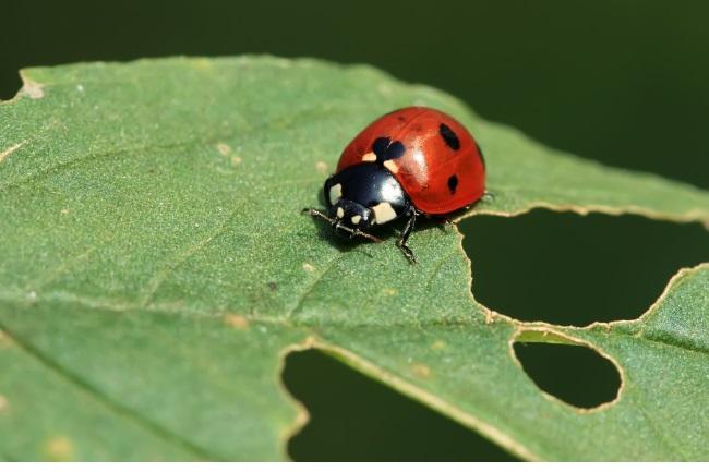 Do Ladybugs Eat Plants featured