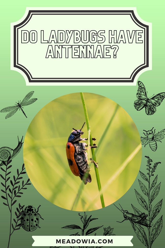 Do Ladybugs Have Antennae pin by meadowia