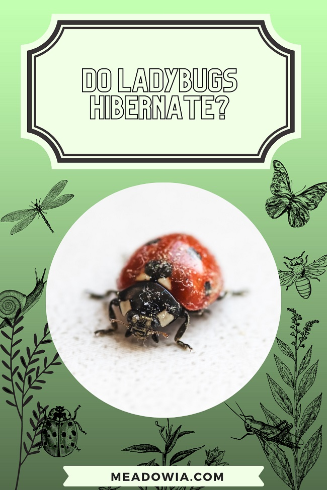 Do Ladybugs Hibernate pin by meadowia
