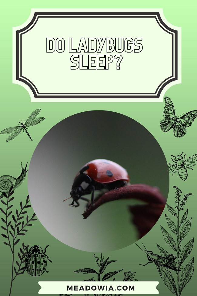 Do Ladybugs Sleep pin by meadowia