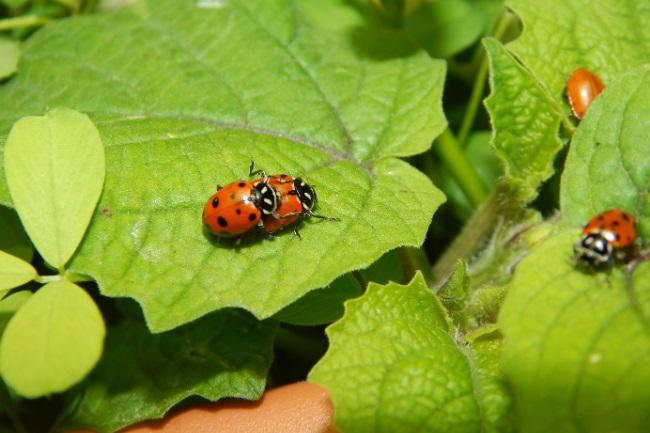Ladybugs Reproduction