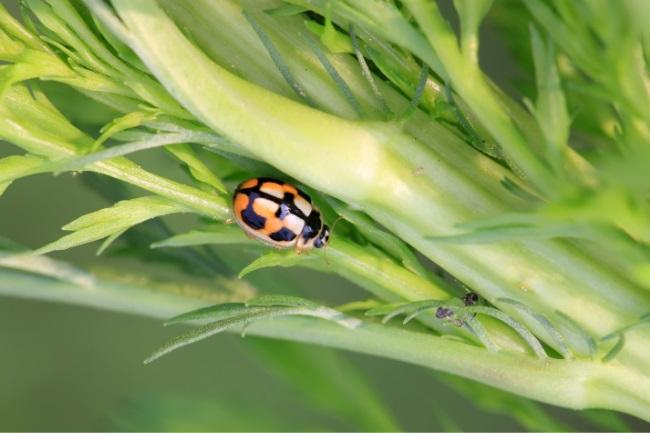 The striped ladybug