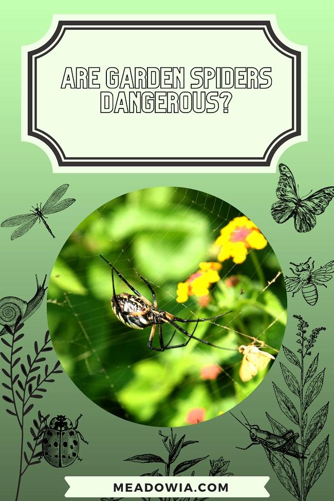 Are Garden Spiders Dangerous pin by meadowia