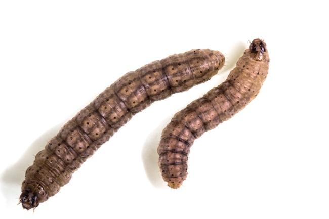 Black cutworms
