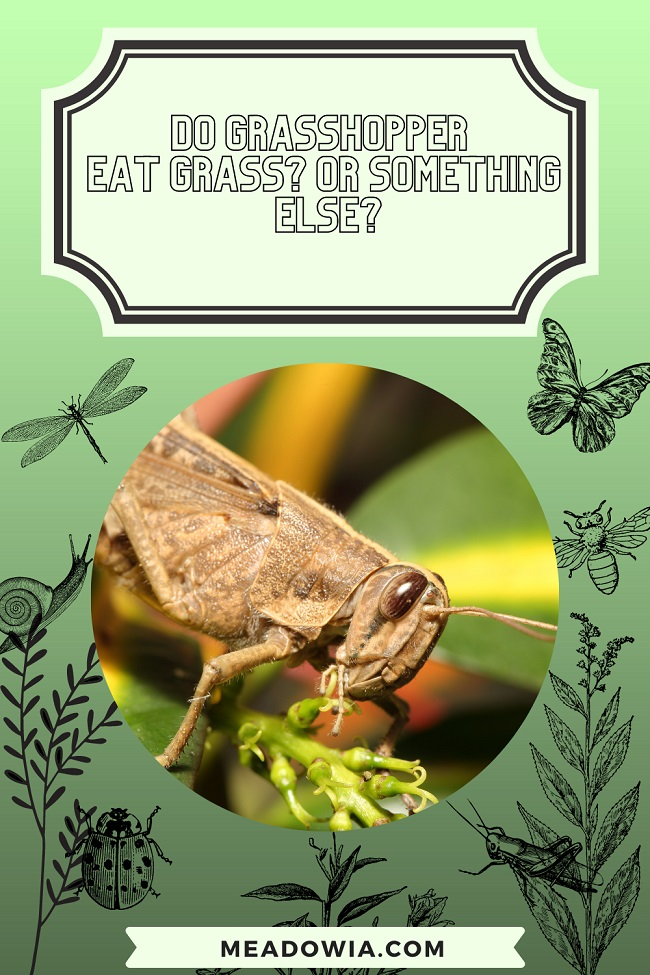 Do Grasshopper Eat Grass pin by meadowia