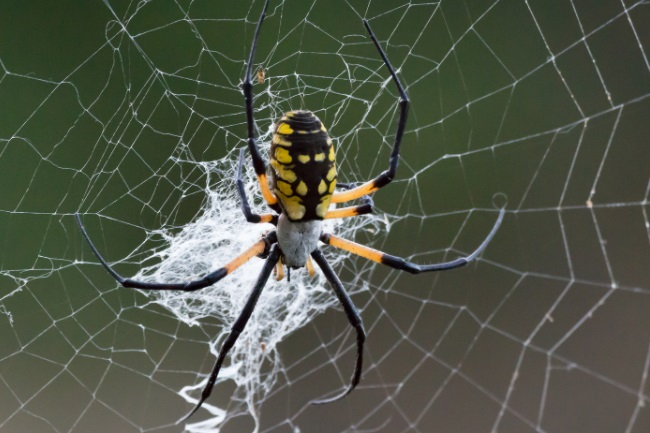 Garden Spiders silken home