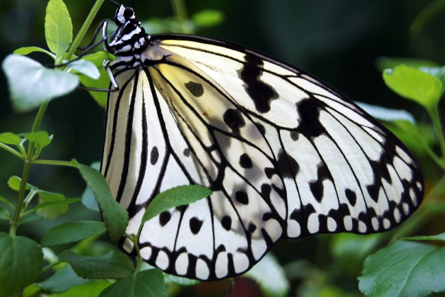 Hawaii's white monarch butterfly
