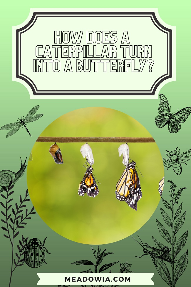 How Does a Caterpillar Turn Into a Butterfly pin by meadowia