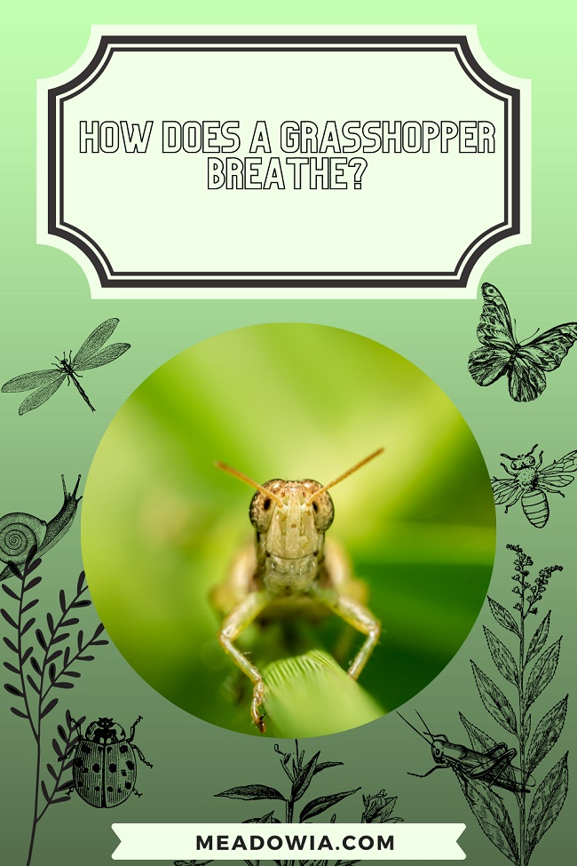 How Does a Grasshopper Breathe pin by meadowia