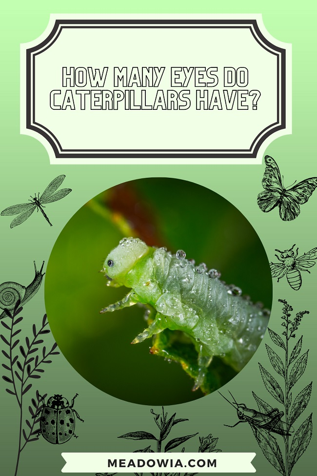 How Many Eyes Do Caterpillars Have pin by meadowia