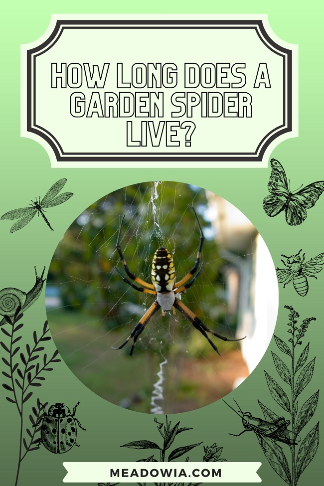 How long does a garden spider live pin by meadowia
