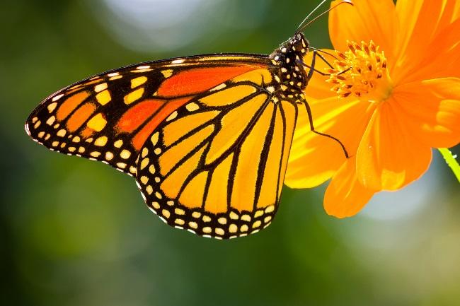 Non-migratory monarchs