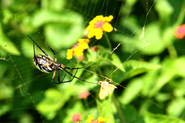 Spiders flower