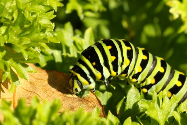 What Caterpillar Eats Parsley featured