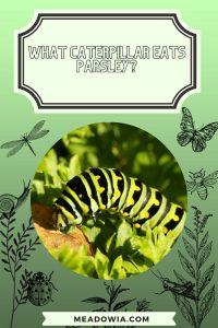 What Caterpillar Eats Parsley pin by meadowia