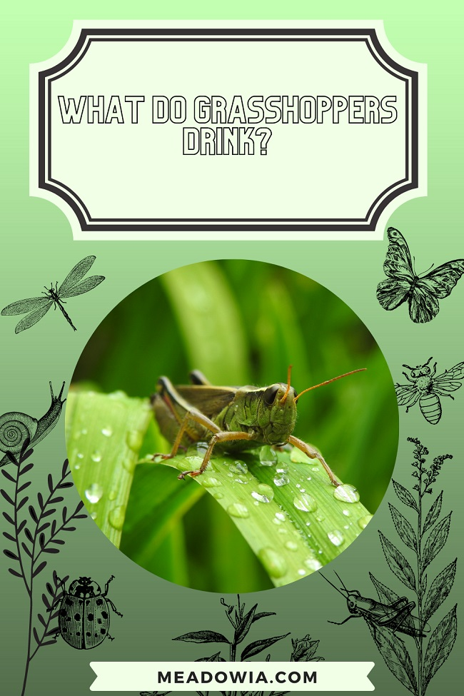 What Do Grasshoppers Drink pin by meadowia