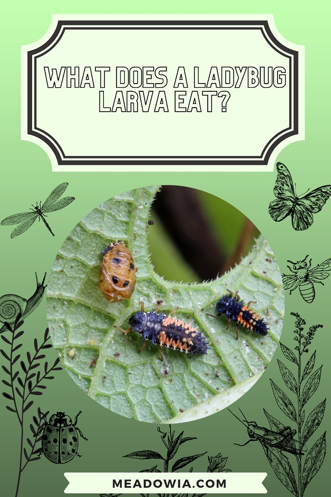 What Does a Ladybug Larva Eat pin meadowia