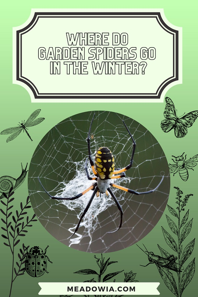Where Do Garden Spiders Go In the Winter pin by meadowia