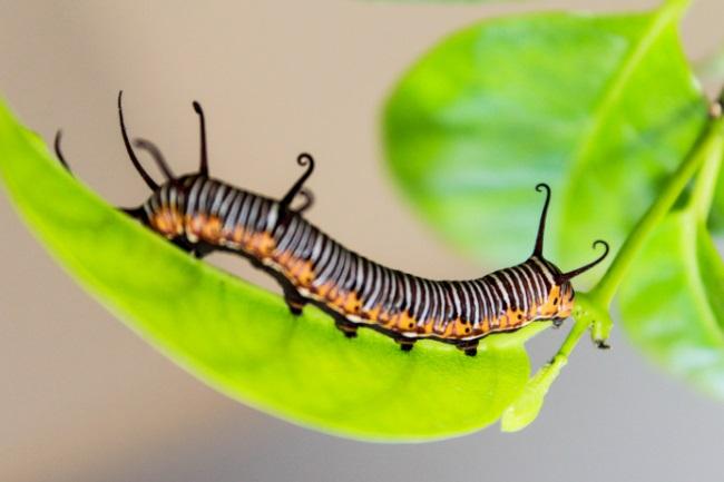 caterpillar eat