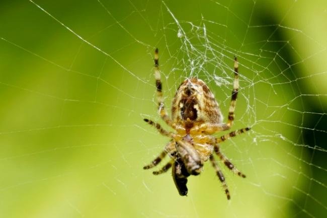 garden spiders dangerous