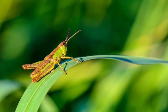 grasshopper noise