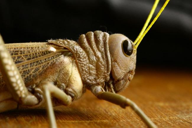 grasshopper nose