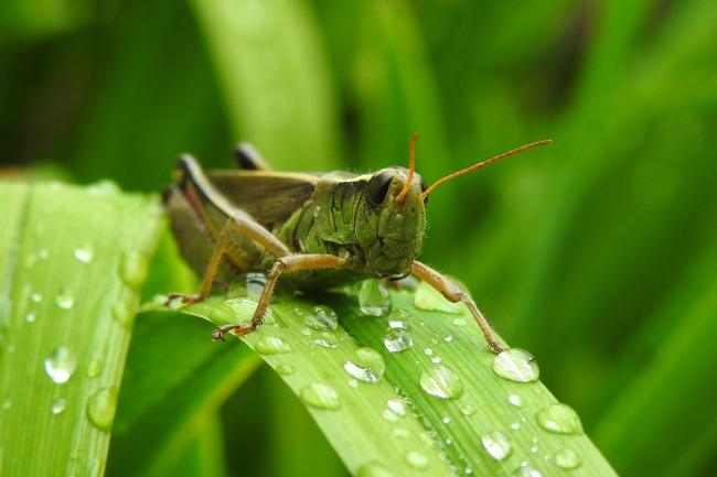 grasshopper water