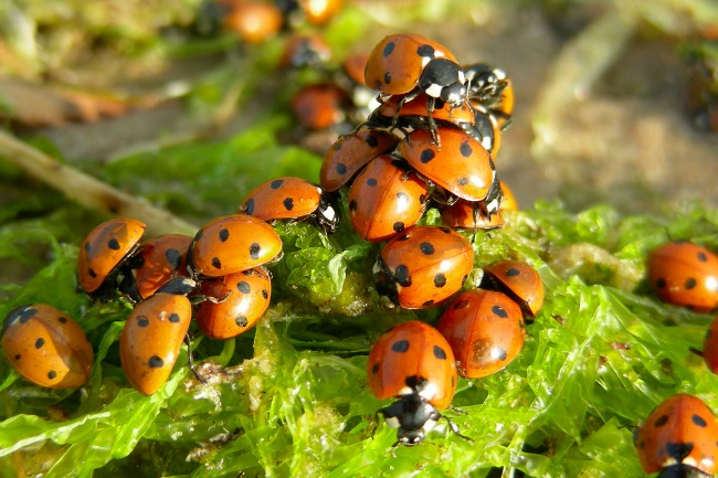 6 Reasons Why are Ladybugs Important for Wildlife & Nature featured