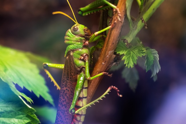 American grasshoppers