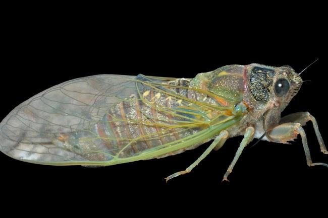 Cicadas body