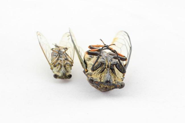 Cicadas small