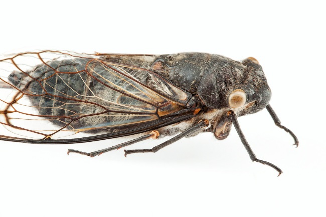 Do Cicadas Make Noise How Does That Sound Like featured