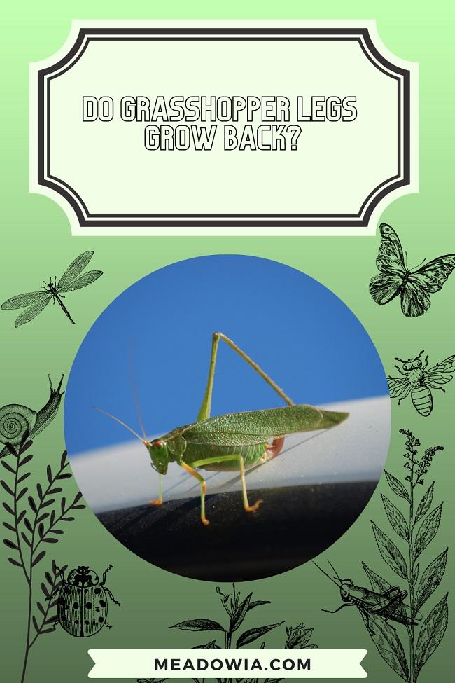 Do Grasshopper Legs Grow Back pin by meadowia