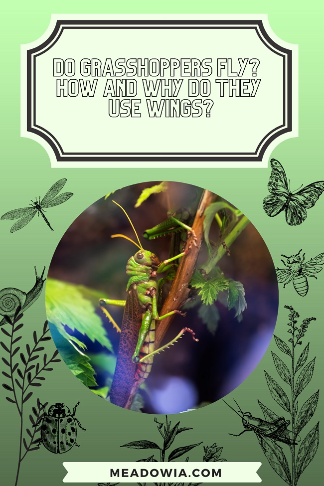 Do Grasshoppers Fly How and Why do They Use Wings pin by meadowia