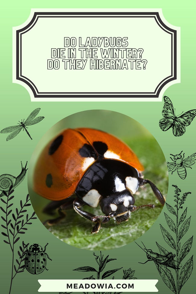 Do Ladybugs Die in the Winter Do they Hibernate pin by meadowia