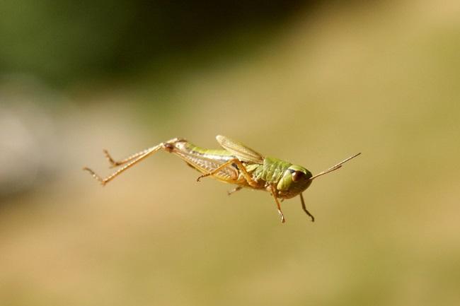 Grasshoppers Jump