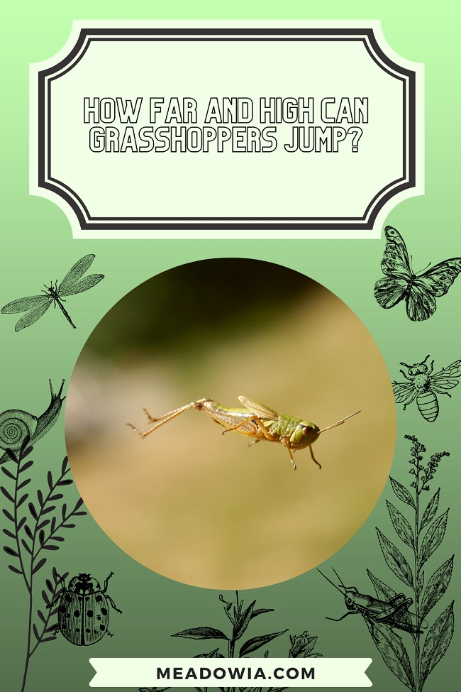 How Far and High can Grasshoppers Jump pin by meadowia