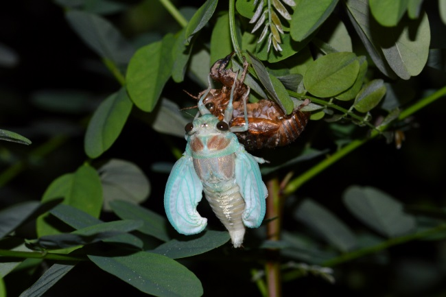 How & What do Cicadas Eat featured