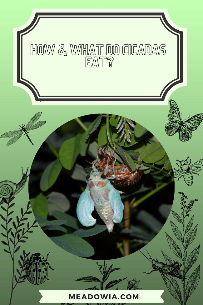 How & What do Cicadas Eat pin by meadowia