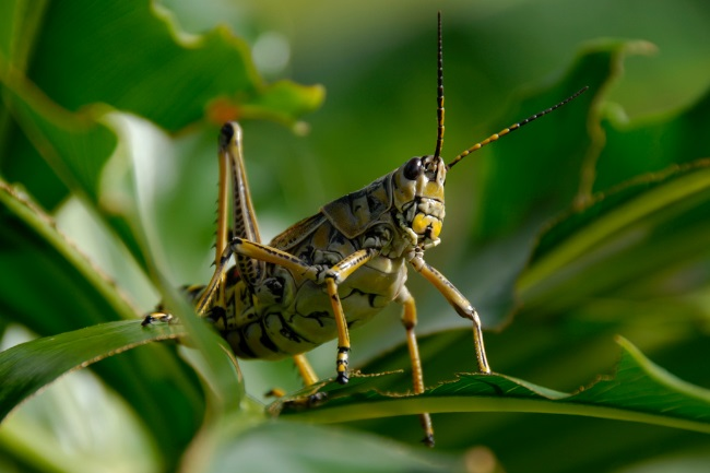 How do Grasshoppers Become Locusts featured