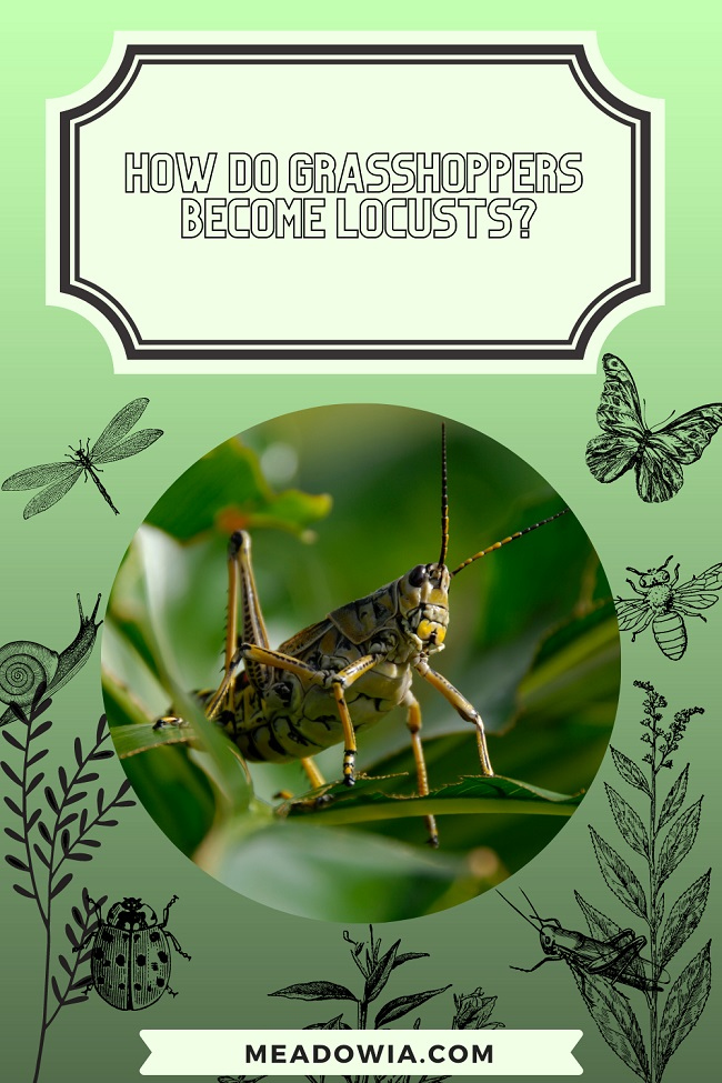 How do Grasshoppers Become Locusts pin by meadowia