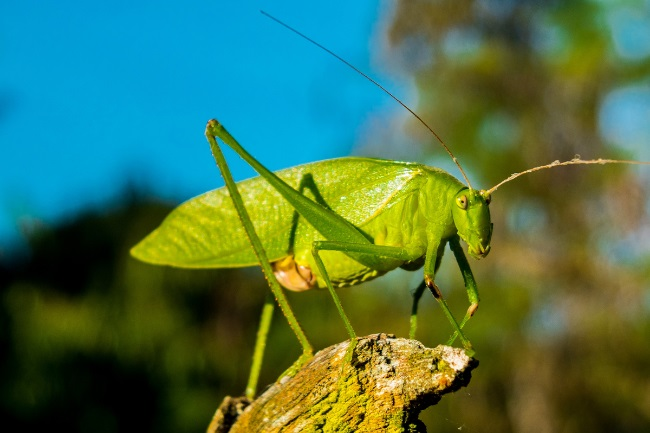 How do Grasshoppers Make Sound featured