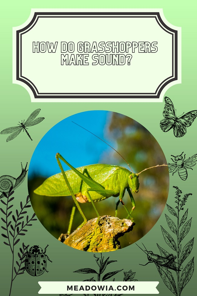 How do Grasshoppers Make Sound pin by meadowia