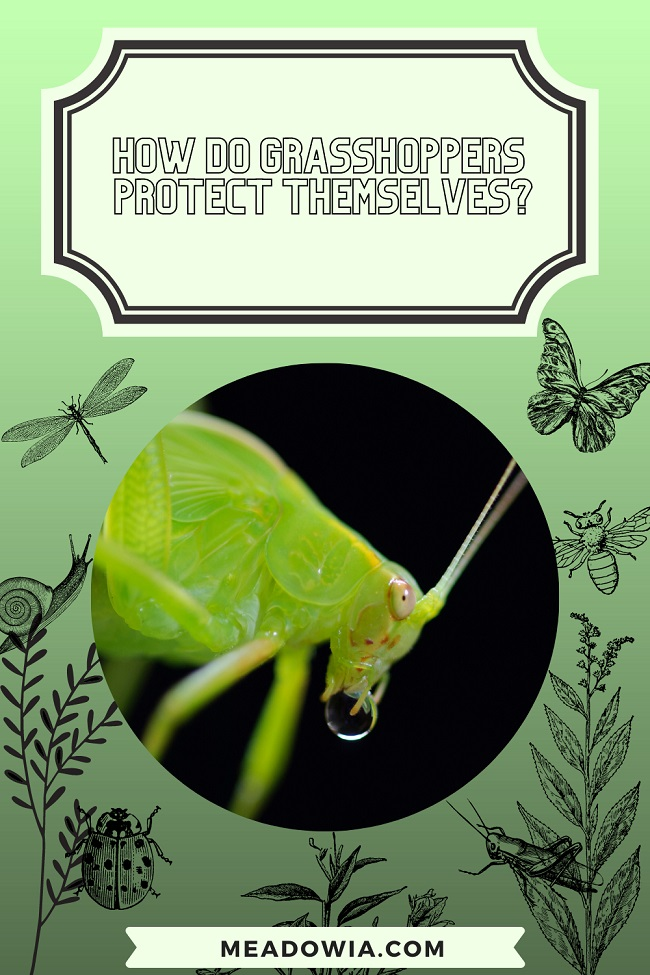 How do Grasshoppers Protect Themselves pin by meadowia