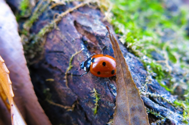 How do Ladybirds Protect Themselves featured