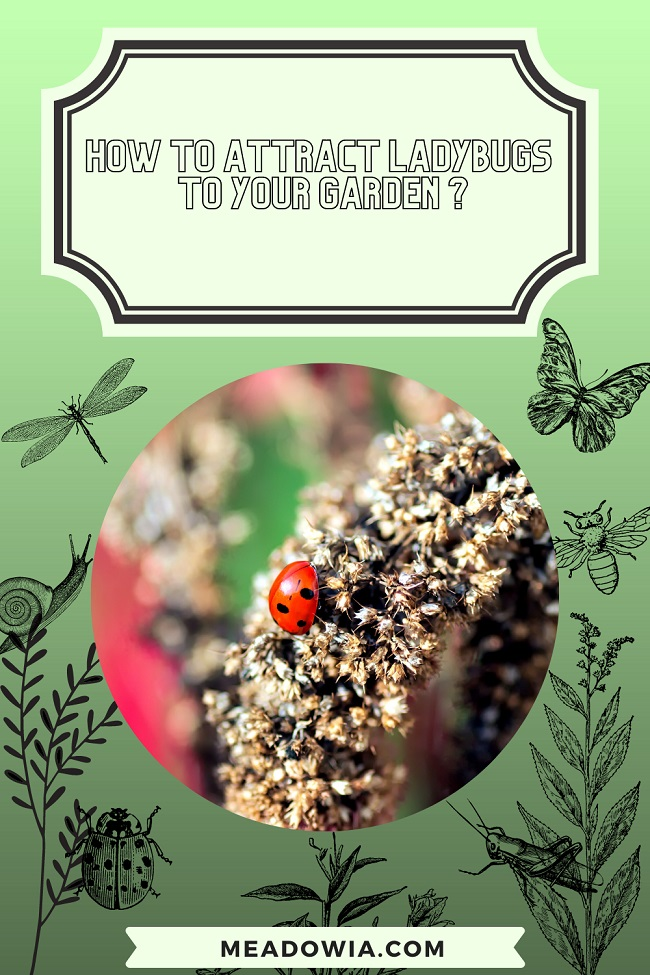 How to Attract Ladybugs to Your Garden pin by meadowia
