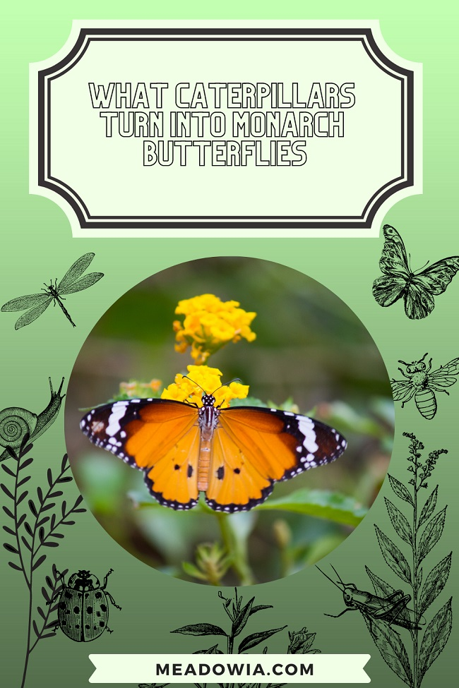 What Caterpillars Turn Into Monarch Butterflies pin by meadowia