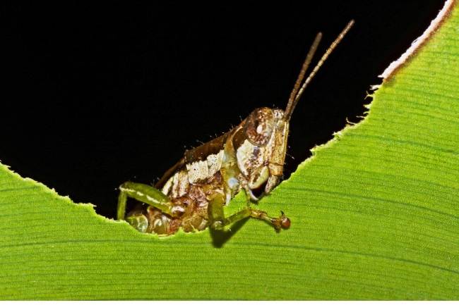 What do Grasshoppers Eat and Drink featured