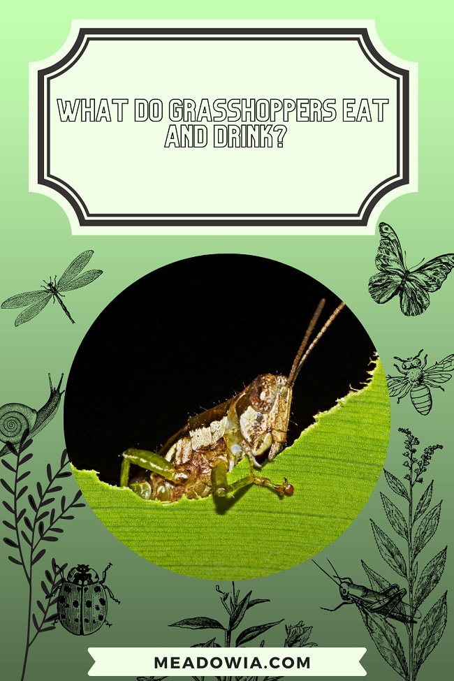 What do Grasshoppers Eat and Drink pin by meadowia