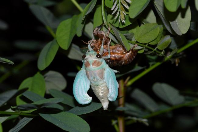 cicada eat